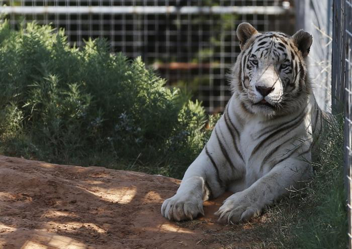 One of the tigers living at the Greater Wynnewood Exotic Animal Park is pictured at the park in Wynnewood, Okla.